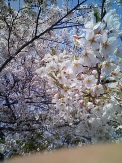淀川沿いの桜